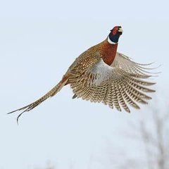 RoadPheasant